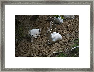 White Fallow Deer Bucks Group Framed Print by Chris Flees