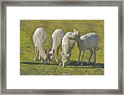 White Fallow Deer Mt Madonna County Park Framed Print