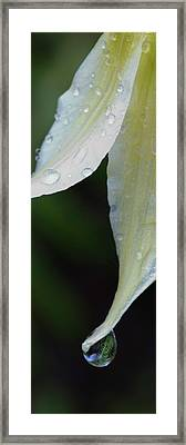 White Fawn Lily Erythronium Oregonum Framed Print by Panoramic Images