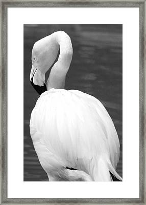 White Flamingo Framed Print