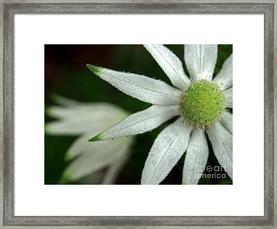 White Flannel Flowers Framed Print by Kaleidoscopik Photography