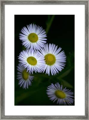 White Fleabane Wildflowers Framed Print by Christina Rollo