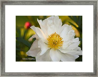 White Floribunda Rose Framed Print by Ann Murphy