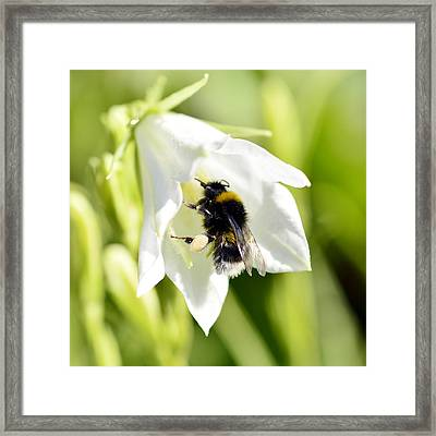 White Flower And Bumblebee Framed Print