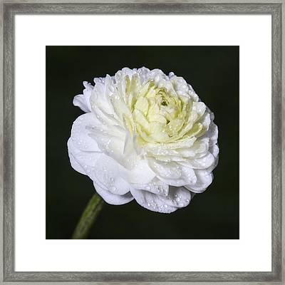 White Flower Framed Print by Arnar B Gudjonsson