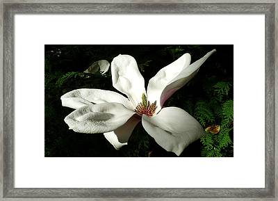 White Flower  Framed Print by Dwight Pinkley