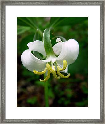 White Flowering Rose Trillium Framed Print