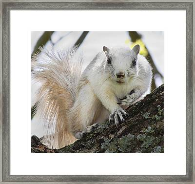 White Fox Squirrel Framed Print by Betsy Knapp