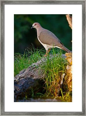 White-fronted Dove Framed Print