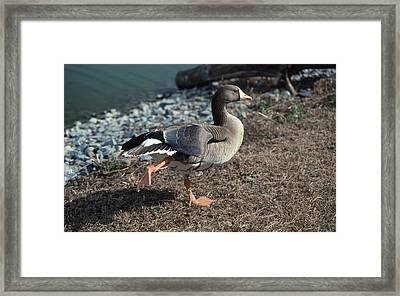 White Fronted Goose Framed Print by Skip Willits