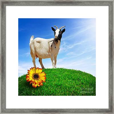 White Goat Framed Print by Carlos Caetano