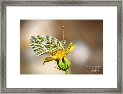 White Green Veined Butterfly Framed Print by Kasia Bitner