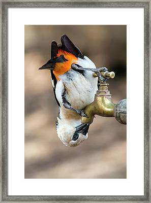 White-headed Buffalo Weaver Framed Print