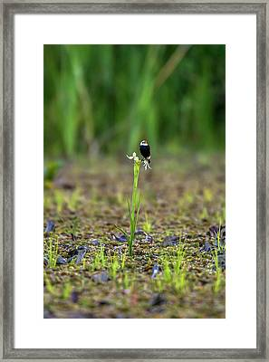 White-headed Marsh Tyrant Arundinicola Framed Print by Leonardo Mer�on