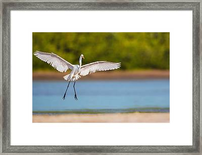 White Heron Landing Graciously Framed Print