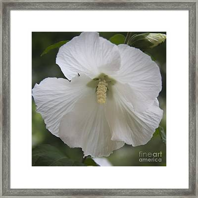 White Hibiscus Squared Framed Print