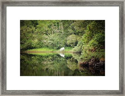 White Horse Drinking Water Framed Print