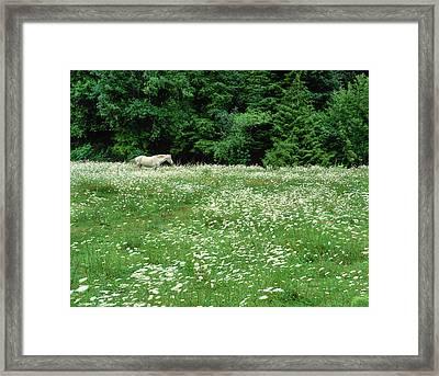 White Horse In A Field Of White Framed Print
