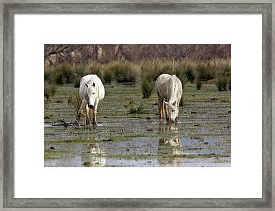 White Horses Grazing In Marshland Framed Print
