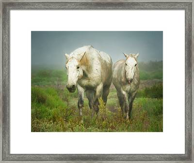 White Horses Of Camargue In Field Framed Print by Sheila Haddad