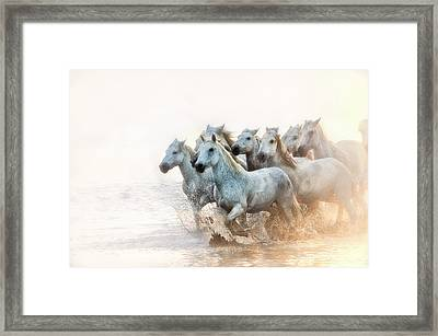 White Horses Of Camargue Running Framed Print by Sheila Haddad