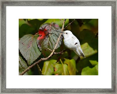 White Hummingbird Framed Print