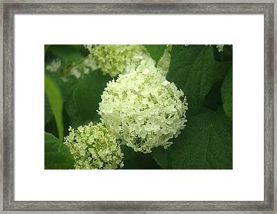 Framed Print featuring the photograph White Hydrangea Blossoms by Suzanne Powers