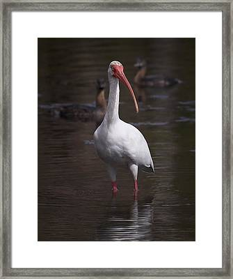 White Ibis 1 Framed Print by Bill Chambers