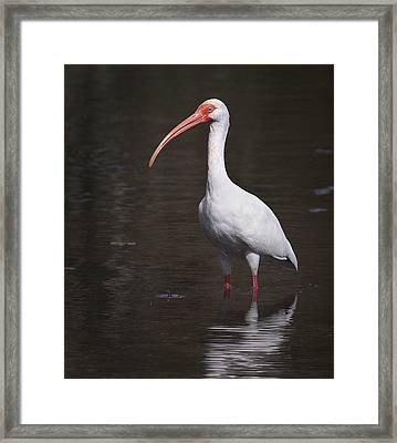 White Ibis 2 Framed Print by Bill Chambers