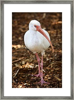 White Ibis Framed Print by Adam Romanowicz