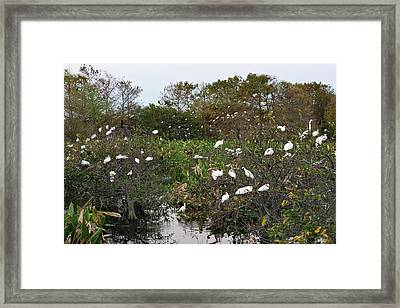 White Ibis And Egrets Roosting Framed Print