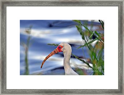 Intriguing Ibis Framed Print by Al Powell Photography USA