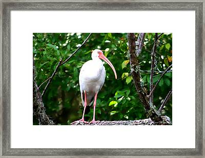 White Ibis Framed Print by Debra Forand