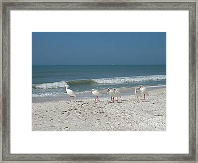 White Ibis In Naples Florida Framed Print by Heidi Hermes