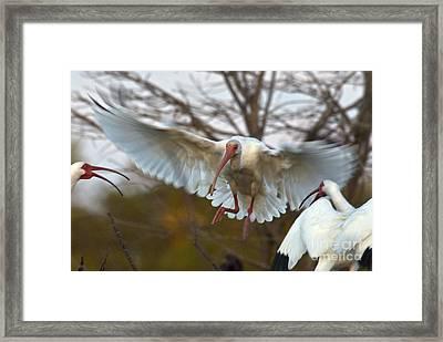 White Ibis Framed Print