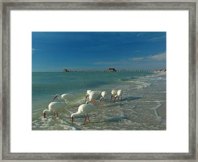 White Ibis Near Historic Naples Pier Framed Print