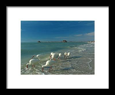 White Ibis Framed Prints