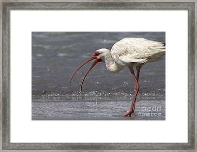 White Ibis On The Beach Framed Print by Meg Rousher
