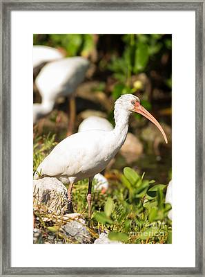 White Ibis On The Hunt Framed Print by Natural Focal Point Photography