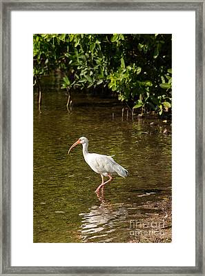 White Ibis On The Water Framed Print by Natural Focal Point Photography