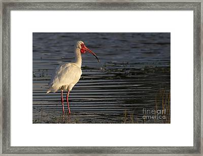 White Ibis Photo Framed Print by Meg Rousher