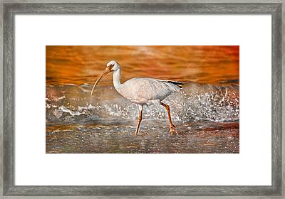 White Ibis Stroll Framed Print by Betsy Knapp