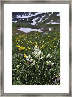 White Indian Paintbrushes Framed Print by Aaron Spong
