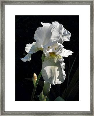 White Iris In The Morning Framed Print