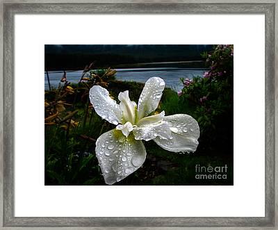 White Iris Framed Print by Robert Bales