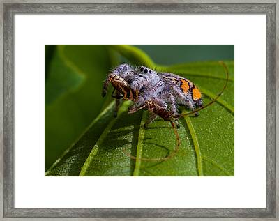 White Jumping Spider With Prey Framed Print by Craig Lapsley