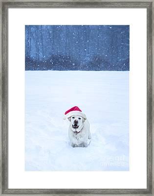 White Lab Christmas Framed Print by Diane Diederich