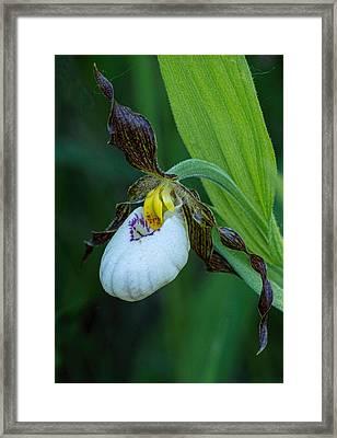 White Lady's Slipper Framed Print