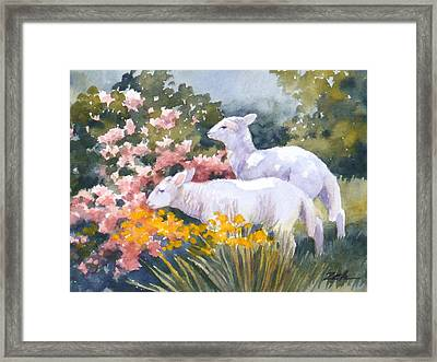 White Lambs In Scotland Framed Print