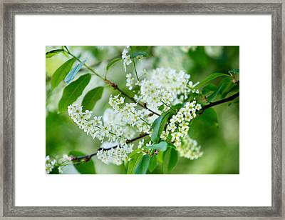 White Lilac Framed Print by Nailia Schwarz
